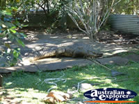 Innisfail Johnstone River Croc Farm . . . CLICK TO ENLARGE