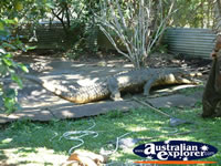 Large Crocodile at Johnstone River Croc Farm in Innisfail . . . CLICK TO ENLARGE