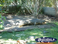 Large Crocodile at Johnstone River Croc Farm . . . CLICK TO ENLARGE