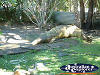 View of Crocodile at Johnstone River Croc Farm in Innisfail . . . CLICK TO ENLARGE