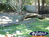 View of Croc at Johnstone River Croc Farm . . . CLICK TO ENLARGE