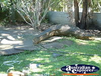 Innisfail Johnstone River Croc Farm Large Crocodile . . . CLICK TO ENLARGE
