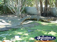 Large Crocodile at Innisfail Johnstone River Croc Farm . . . CLICK TO ENLARGE