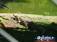 Crocodile Near Water at Innisfail Johnstone River Croc Farm . . . CLICK TO ENLARGE