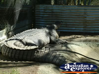 Johnstone River Crocodile Farm in Innisfail . . . CLICK TO ENLARGE