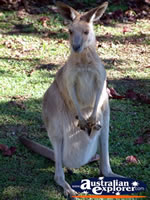 Innisfail Johnston River Croc Farm Kangaroo & Joey . . . CLICK TO ENLARGE
