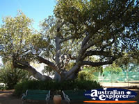 Large Tree in the Dalby Jimbour House Grounds . . . CLICK TO ENLARGE