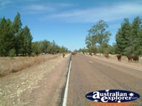 Cattle on the Road to Nindigully Pub from St George . . . CLICK TO ENLARGE