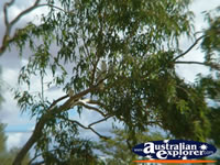 Cunnamulla Cockatoos perched in a tree . . . CLICK TO ENLARGE