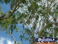 Cunnamulla Cockatoos in a tree . . . CLICK TO ENLARGE