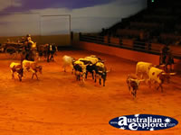 Australian Outback Spectacular Cattle . . . CLICK TO ENLARGE