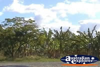 Banana Plantation Trees . . . CLICK TO ENLARGE