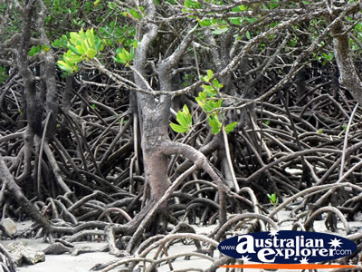 Mangroves in Cape Tribulation . . . CLICK TO VIEW ALL CAPE TRIBULATION POSTCARDS