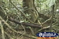 Trees within the Cape Tribulation Rainforest . . . CLICK TO ENLARGE