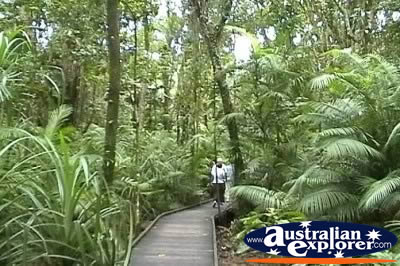 Cape Tribulation Boardwalk In Rainforest . . . CLICK TO VIEW ALL CAPE TRIBULATION RAINFOREST POSTCARDS