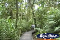 Cape Tribulation Boardwalk In Rainforest . . . CLICK TO ENLARGE