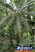 Cape Tribulation Rainforest Tree . . . CLICK TO ENLARGE
