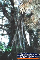 Close Up Of Cathedral Fig Tree . . . CLICK TO ENLARGE