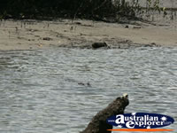 Crocodile swimming underwater at Coopers Creek . . . CLICK TO ENLARGE