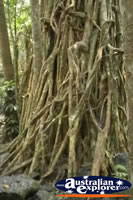 Curtain Fig Tree Roots . . . CLICK TO ENLARGE
