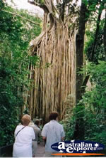 Curtain Fig Tree . . . CLICK TO ENLARGE