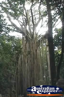 Curtain Fig Tree From Distance . . . CLICK TO ENLARGE