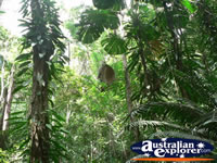 Rainforest in Daintree . . . CLICK TO ENLARGE