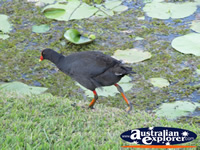 Running Moorhen at Gold Coast Botanic Gardens . . . CLICK TO ENLARGE