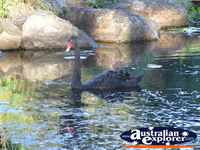 Black Swan in the Gold Coast Botanic Gardens . . . CLICK TO ENLARGE