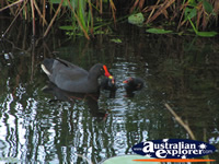 Mum and Baby Moorhens Swimming in the Water . . . CLICK TO ENLARGE