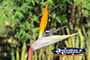 Bird of Paradise . . . CLICK TO ENLARGE