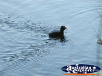 Moorhen Swimming Away at the Gold Coast Botanic Gardens  . . . CLICK TO ENLARGE