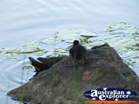 Moorhens Playing on the Rocks  . . . CLICK TO ENLARGE
