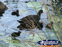 Moorhens in the Water  . . . CLICK TO ENLARGE
