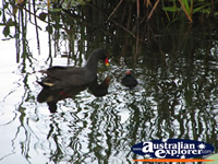 Moorhens Playing in the Water . . . CLICK TO ENLARGE