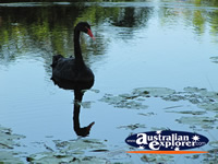 Black Swan on the Water . . . CLICK TO ENLARGE