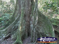Black Booyong Rainforest Tree . . . CLICK TO ENLARGE