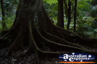 Springbrook Walk Tree Roots- Gold Coast Hinterland . . . CLICK TO ENLARGE