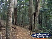 Tamborine Mountain Forest . . . CLICK TO ENLARGE