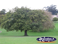 English Oak Tree . . . CLICK TO ENLARGE