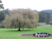 Weeping Willow Tree . . . CLICK TO ENLARGE