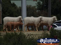 Warracknabeal Sheep Statue . . . CLICK TO ENLARGE