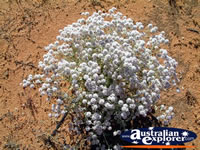 White Wildflowers on Way to Mt Magnet . . . CLICK TO ENLARGE
