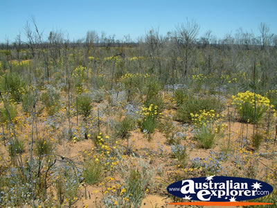 Wildflowers Scattered on Way to Dalwallinu . . . CLICK TO VIEW ALL DALWALLINU POSTCARDS