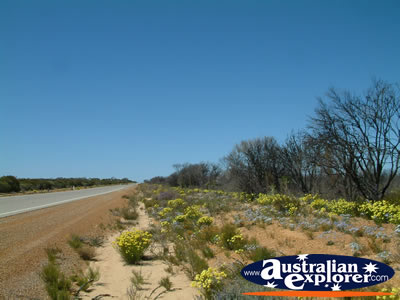 Wildflowers Next To Road on Way to Dalwallinu . . . CLICK TO VIEW ALL DALWALLINU POSTCARDS