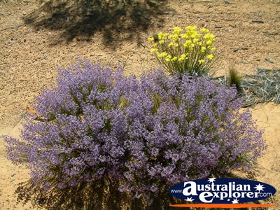 Wildflowers in Desert on Way to Dalwallinu . . . CLICK TO VIEW ALL DALWALLINU POSTCARDS