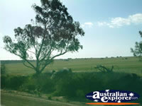 Trees Between Three Springs & Eneabba . . . CLICK TO ENLARGE