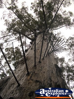 Manjimup Diamond Tree Lookout from Below . . . VIEW ALL MANJIMUP (DIAMOND TREE LOOKOUT) PHOTOGRAPHS