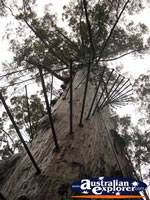 Manjimup Diamond Tree Lookout from Below . . . CLICK TO ENLARGE