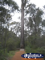 View of Manjimup King Jarrah . . . CLICK TO ENLARGE